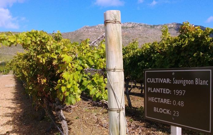 Sauvignon Blanc, Steenberg, Kapstadt, Südafrika
