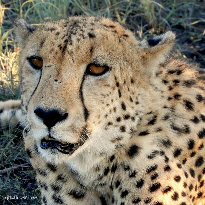 Gepard1.jpg